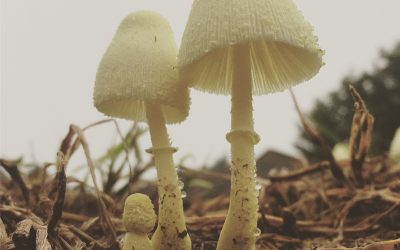 Real Photographers & Fungi Fairy Lanterns