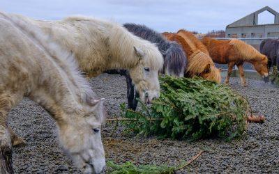 Nom Nom Holiday for Icelandic Horses