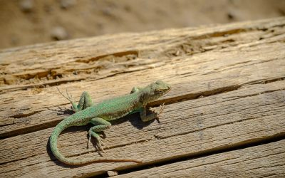 Taking My Lizard for a Walk