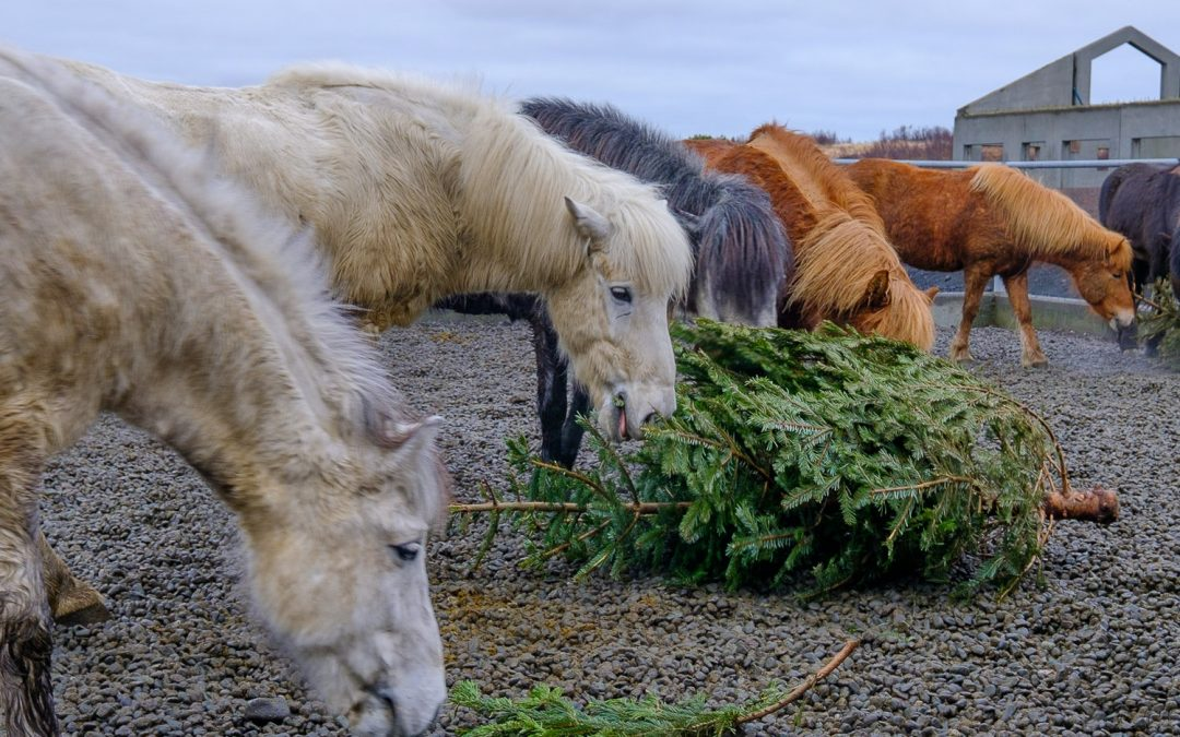 Nom Nom Holiday for Icelandic Horses