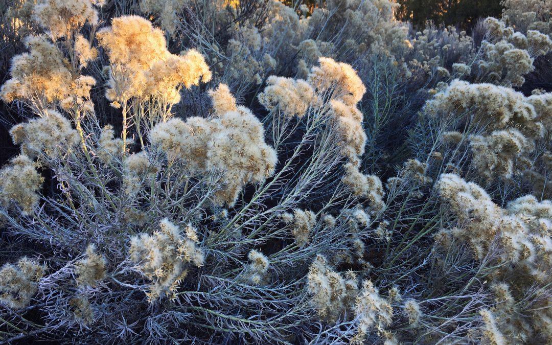 Chamisa in Autumn