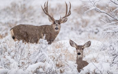 The Faces of Deer