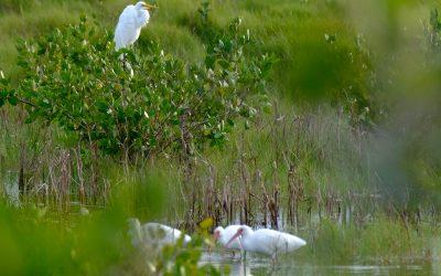 King Egret