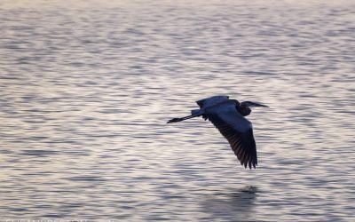 Skimming Heron