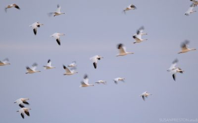 Slow Shutter Snow Geese
