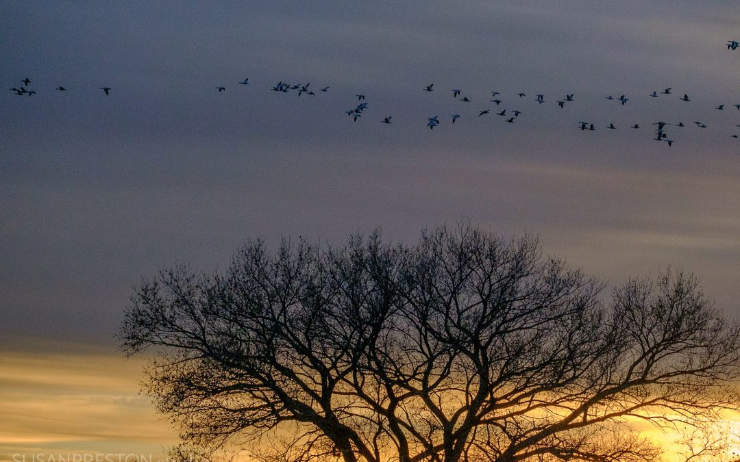 Sunset Snow Geese Over Cottonwood
