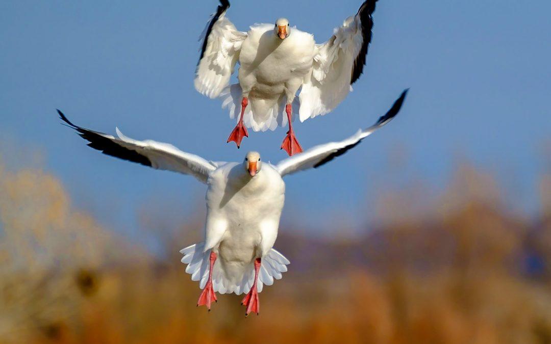 Goose Bombs