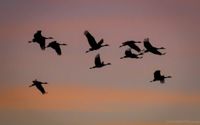Sandhill Cranes Flying Over the Bosque del Apache