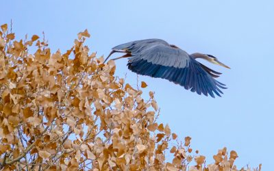 Heron rows forward into flight