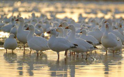 Be like snow geese
