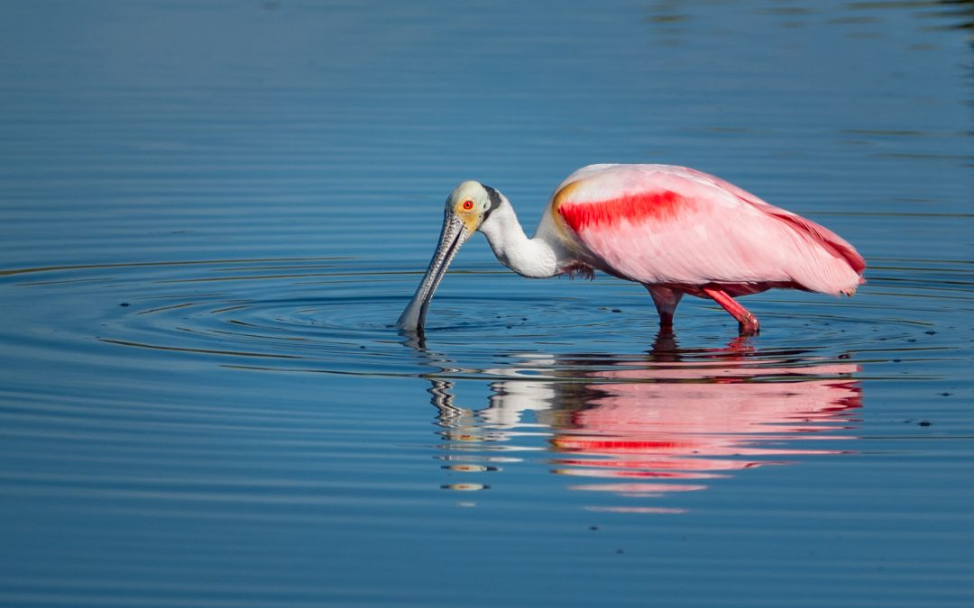 Magical Beast also known as the Roseate Spoonbill