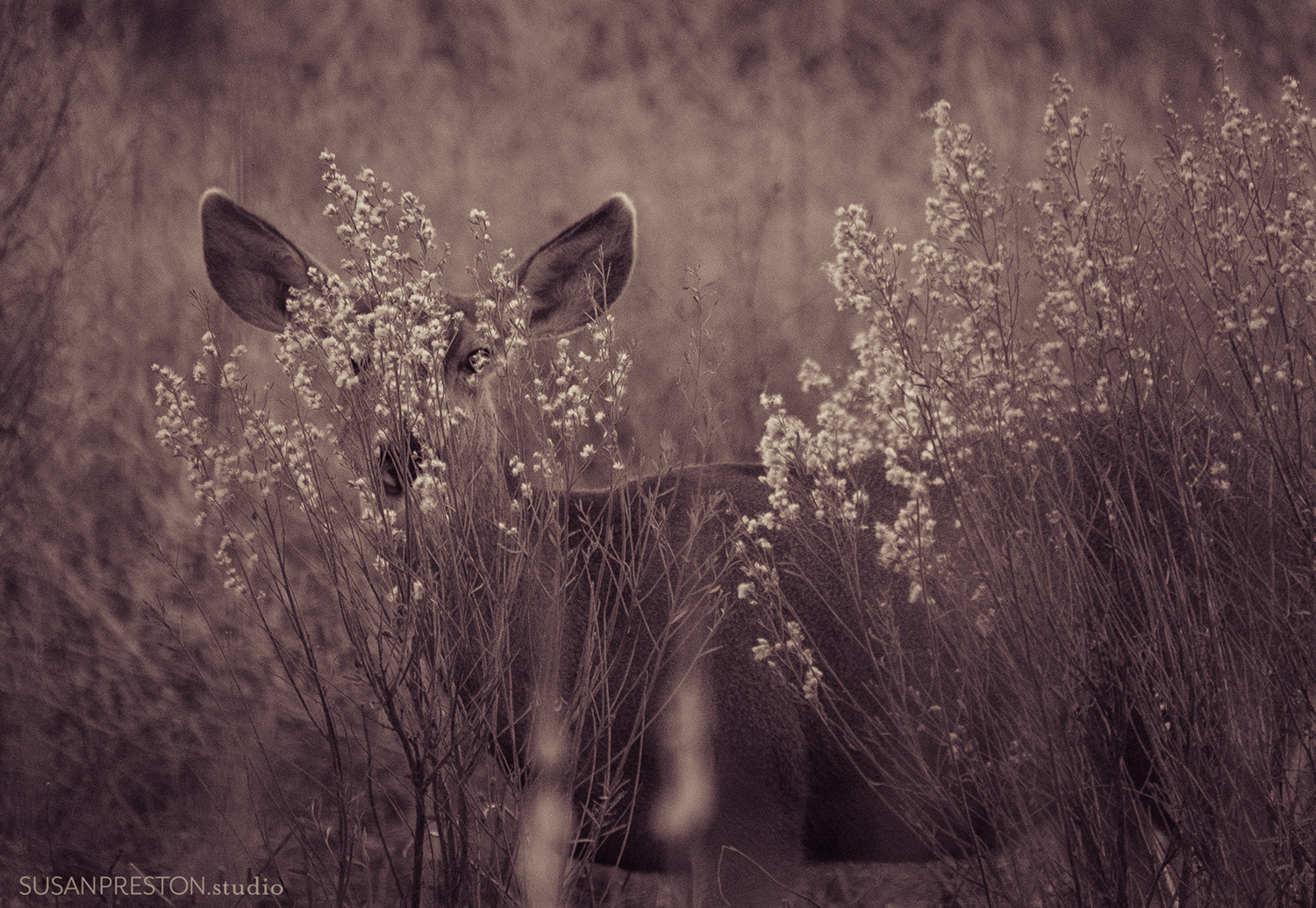 a partially hidden mule deer doe looks through the brush and into the camera in this black and white toned image from the Bosque del Apache