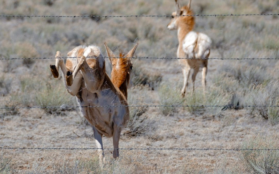 Pronghorn Leaps Away or Into
