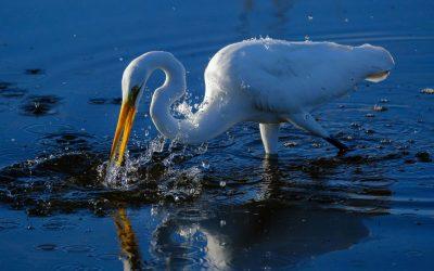Egret Strikes Through