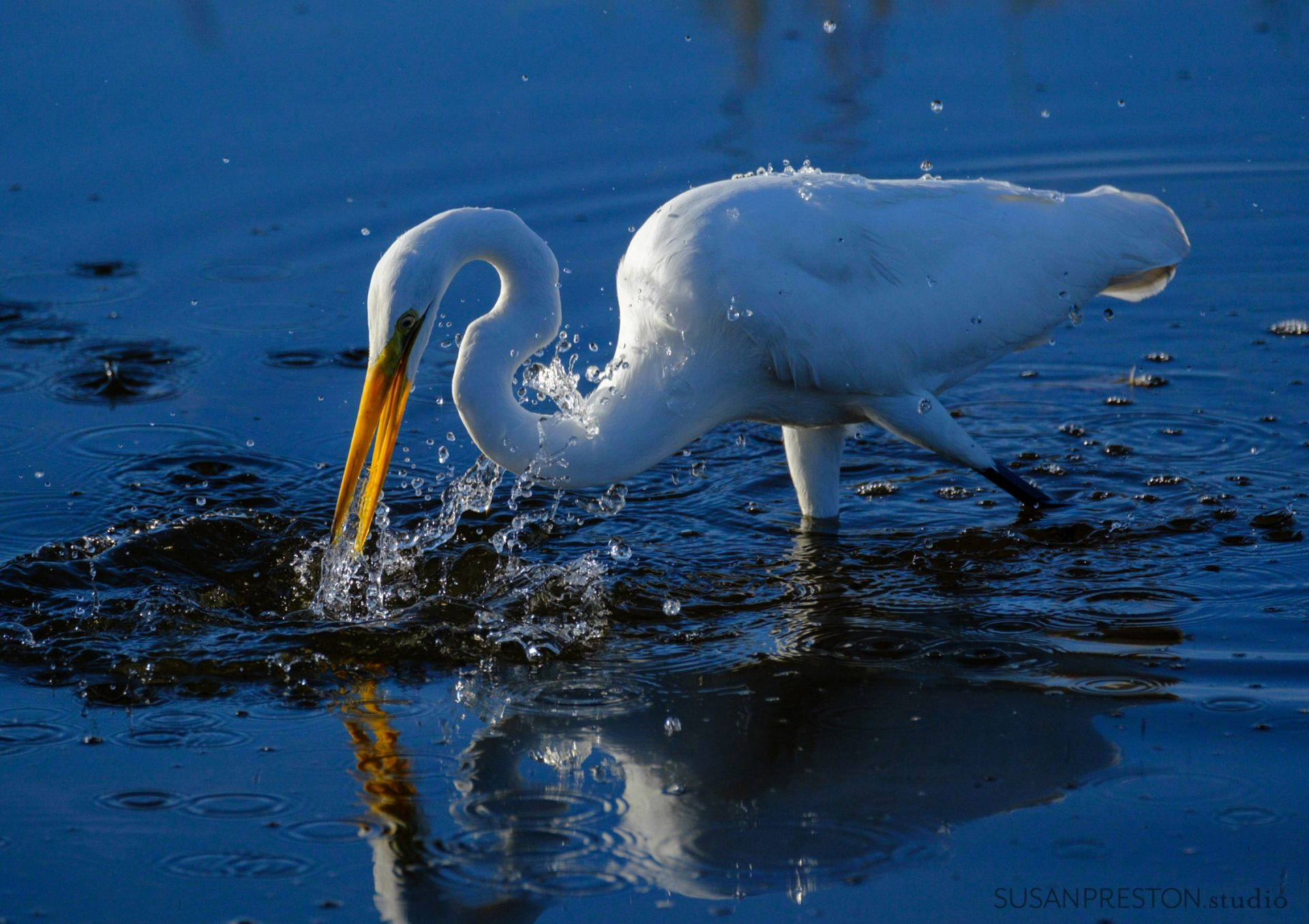 great white egret strikes at a minnow on Black Point Drive in Merrit Island Wildlife refuge