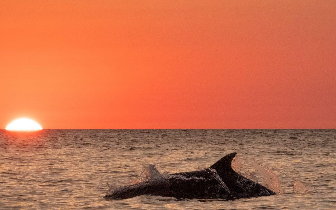 Dolphin Breaching with the Sun