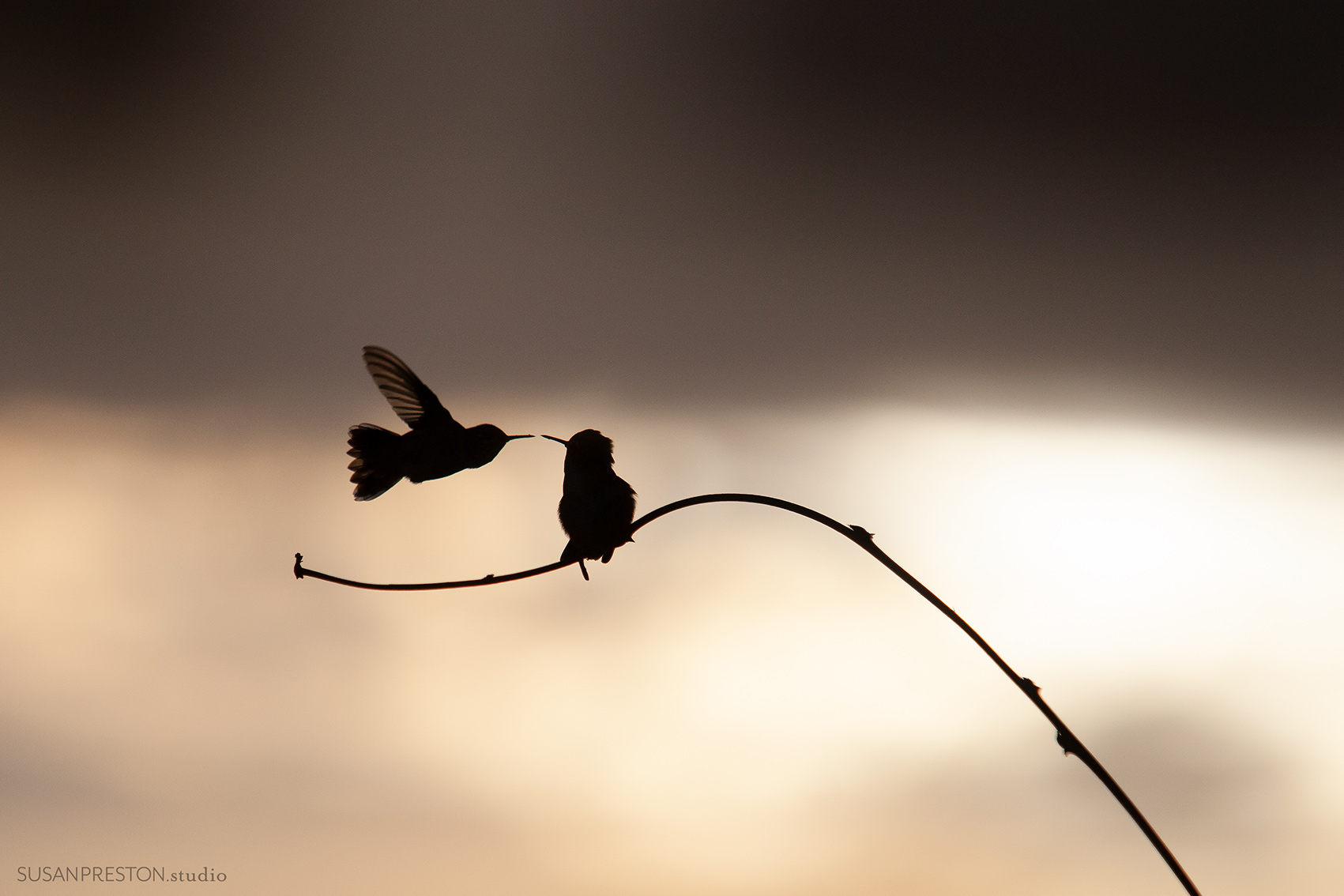 two silhouetted hummingbirds appear to kiss each other in the day's fading light