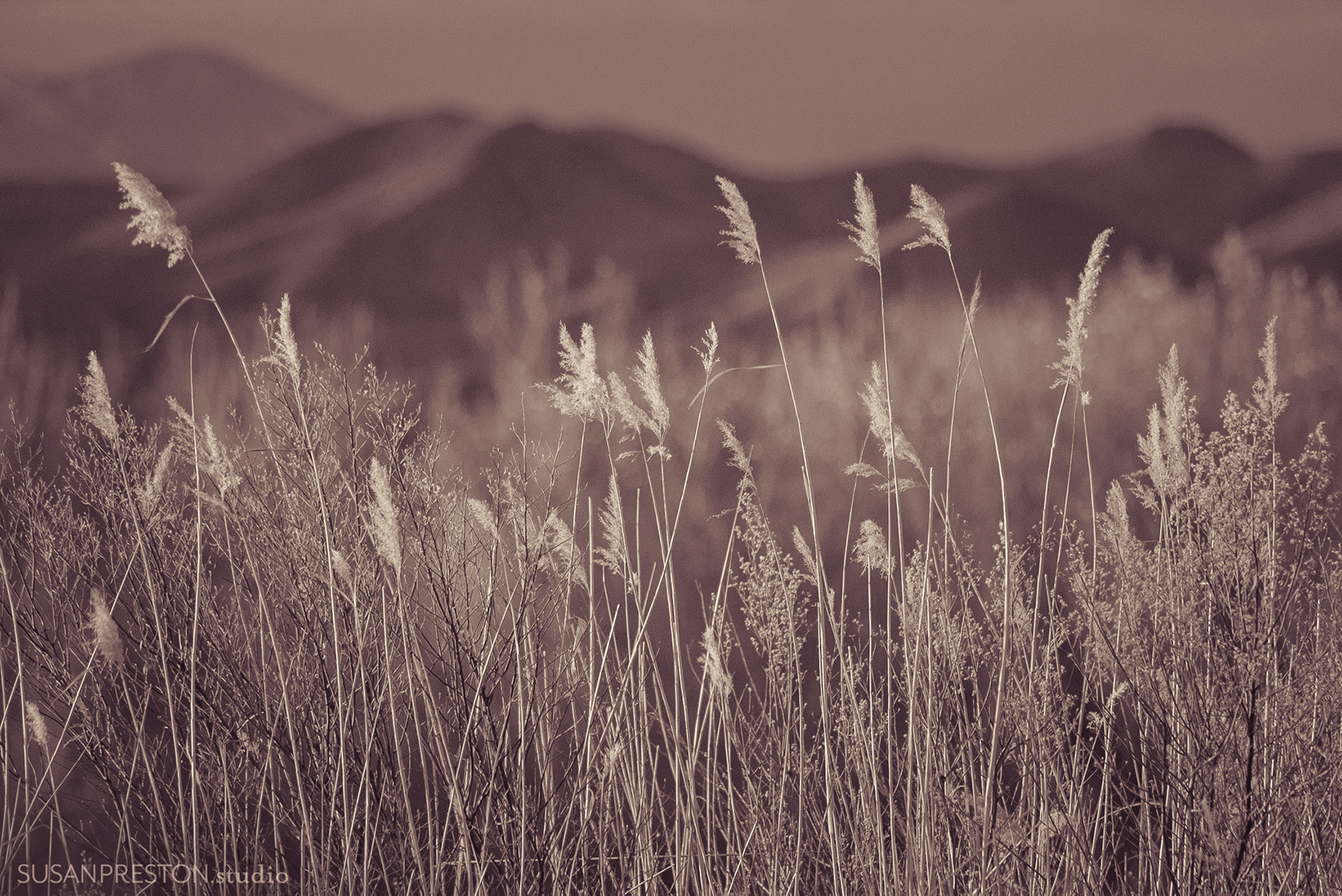reeds in the bosque del apache