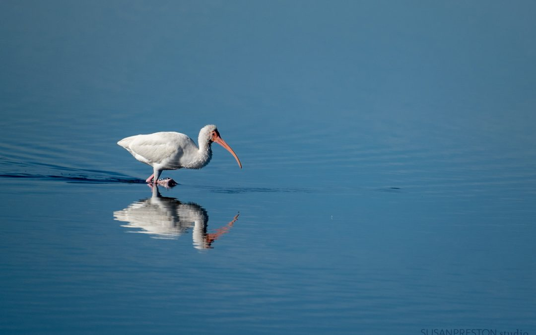 Solitary Ibis