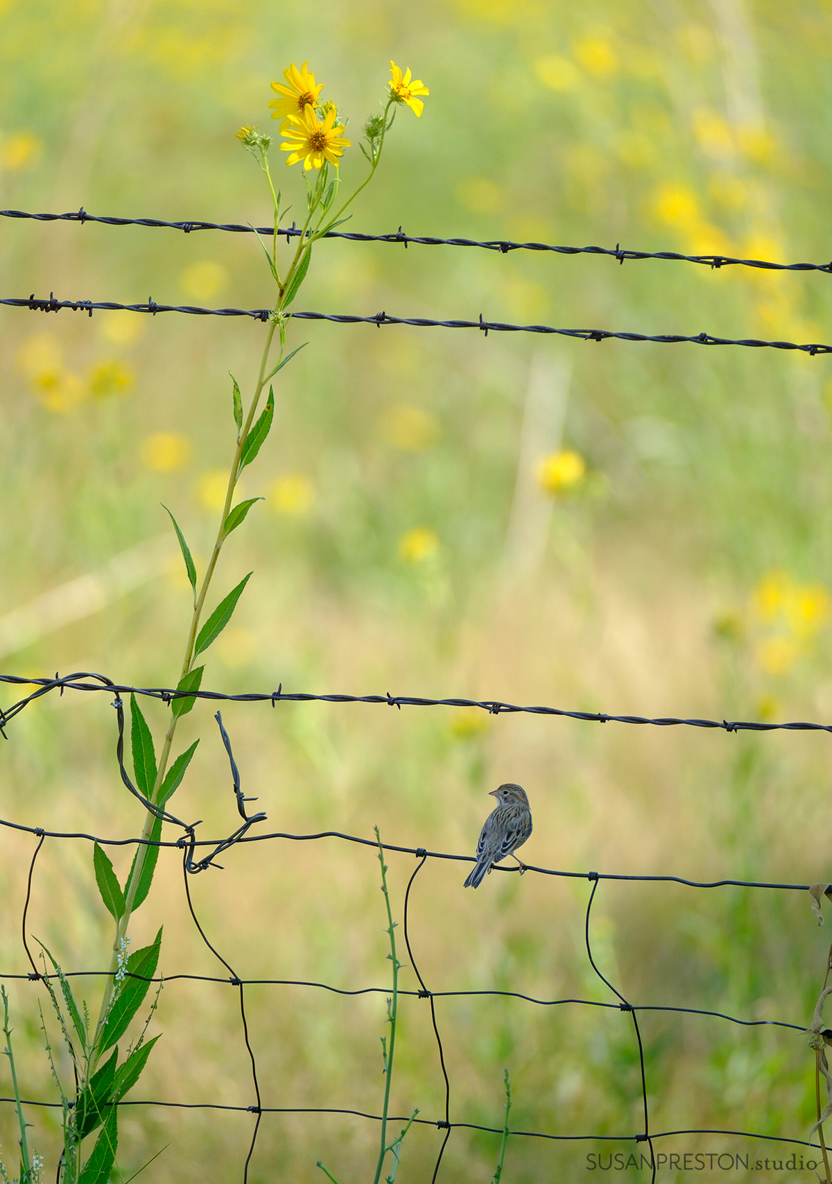 a small bird sits on a barbed wire fence surrounded by sunflowers in Taos New Mexico
