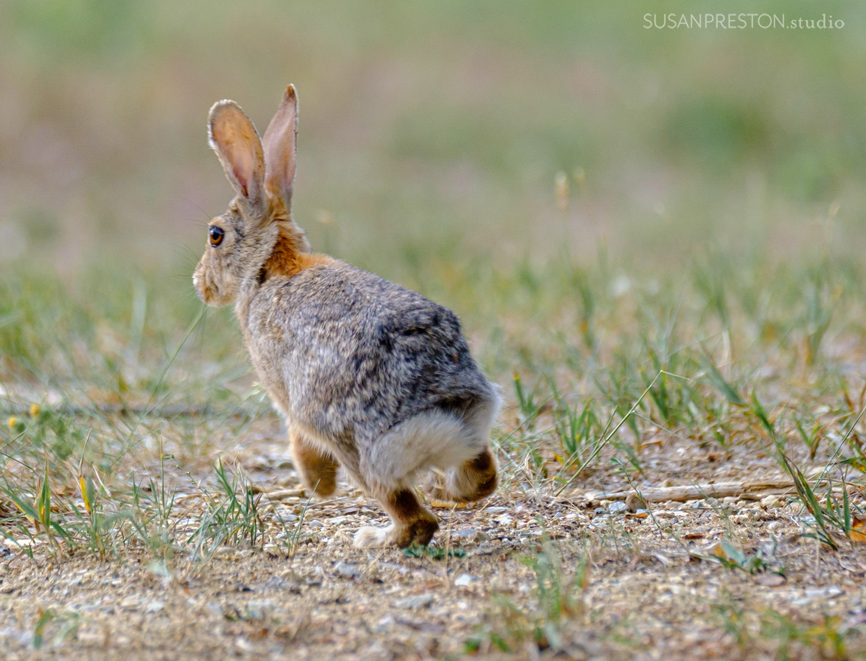 a rabbit hops across a field in Taos valley