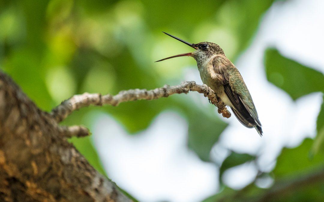 Hummingbird Yawn