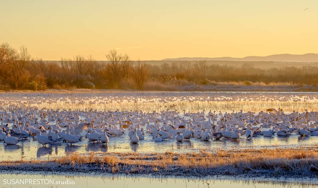 A huge flock of snow geese sit in the golden morning light in the Bosque del Apache