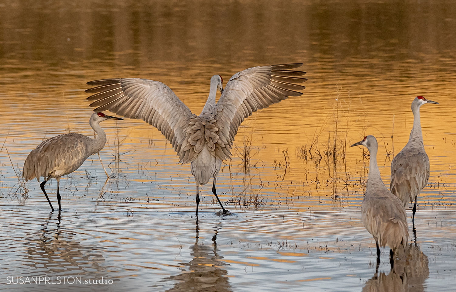 sandhill crane joyfully stretches her wings in the early morning light of the Bosque del Apache