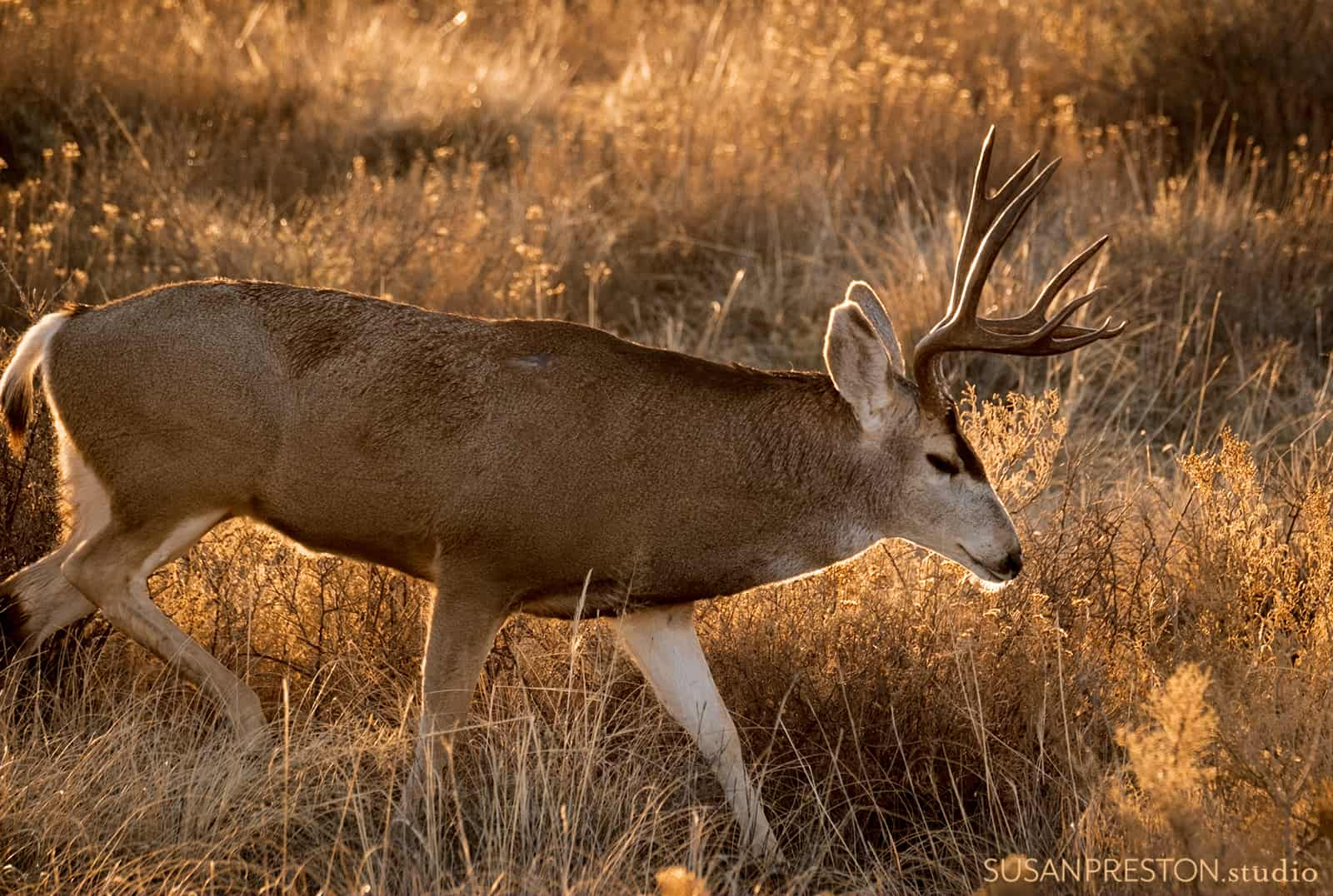 a mule deer buck traverses down a hill during the golden hour in the Bosque del Apache