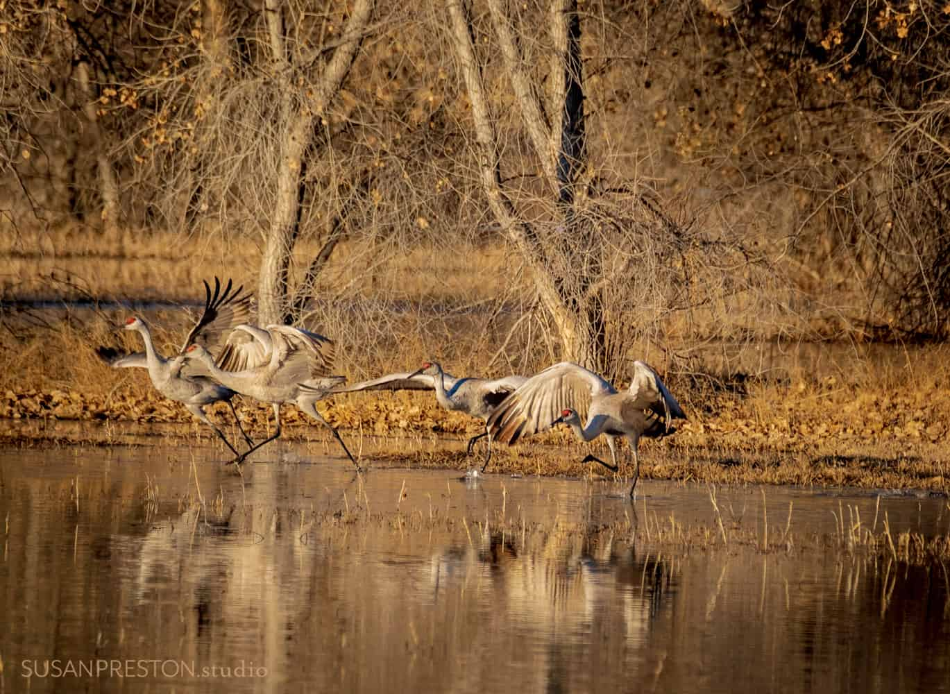a family of sandhill cranes begin running across the water to take flight in the Bosque del Apache