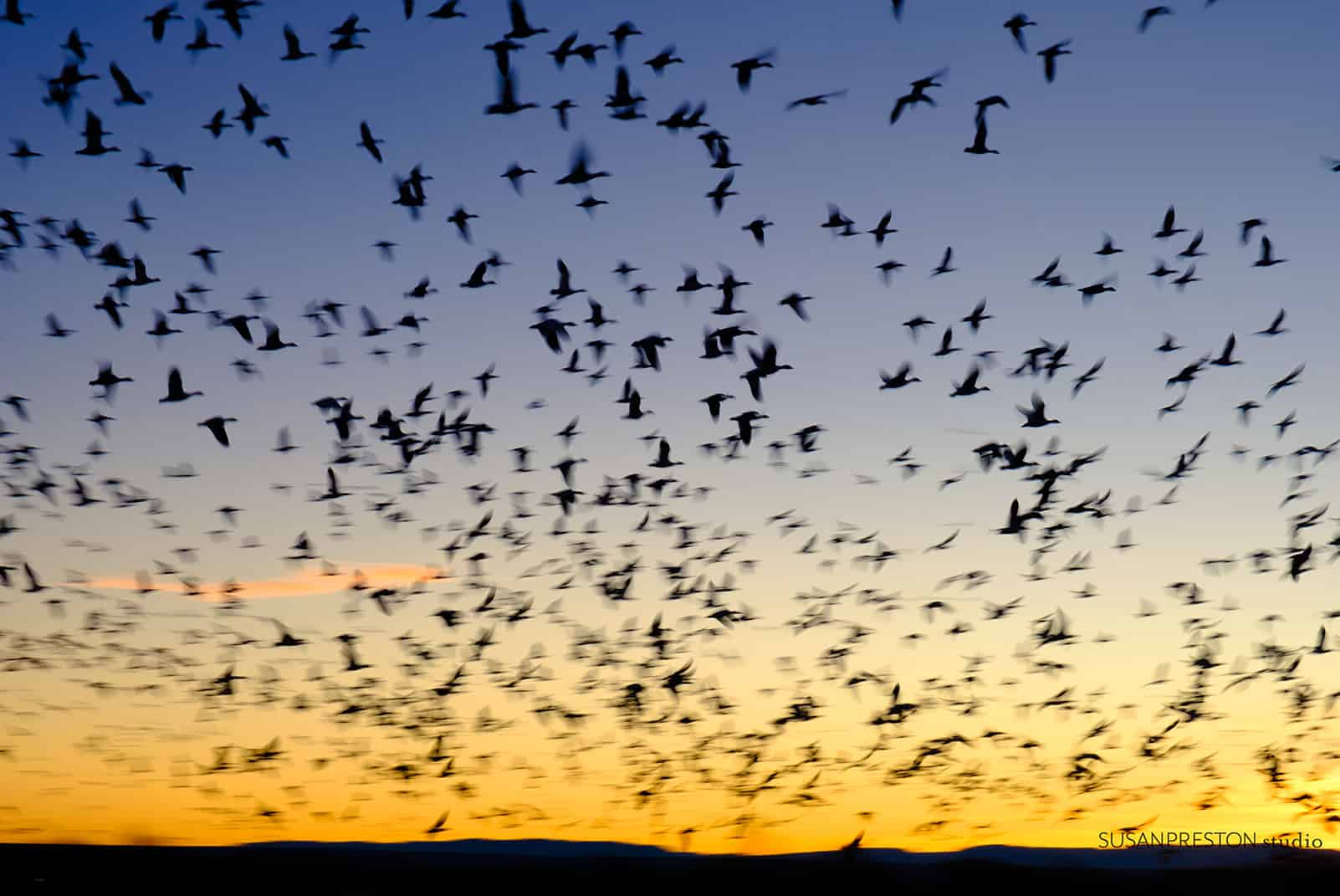 snow geese waking with the dawn